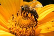La biologie de l'abeille